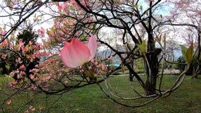 Floraison de l'arbre de la Floride Rubra de cornus 4K en temps r?el banque de vidéos