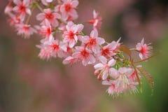 Floraison de l'Himalaya de cerise (cerasoides de Prunus). Photographie stock