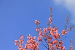 Floraison de l'Himalaya de cerise (cerasoides de Prunus). Photo stock
