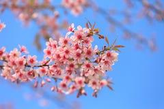 Floraison de l'Himalaya de cerise (cerasoides de Prunus). Photo libre de droits
