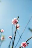 Floraison de l'Himalaya sauvage de cerise Images libres de droits