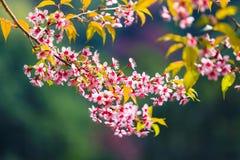 Floraison de l'Himalaya sauvage de cerise (cerasoides de Prunus) Photo libre de droits