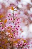 Floraison de l'Himalaya sauvage de cerise (cerasoides de Prunus) Image stock