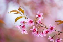 Floraison de l'Himalaya sauvage de cerise (cerasoides de Prunus) Images stock