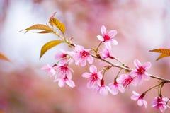 Floraison de l'Himalaya sauvage de cerise (cerasoides de Prunus) Photographie stock libre de droits