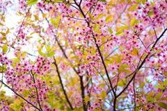 Floraison de l'Himalaya sauvage de cerise (cerasoides de Prunus) Photo stock