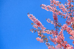 Floraison de l'Himalaya sauvage de cerise (cerasoides de Prunus) Images libres de droits