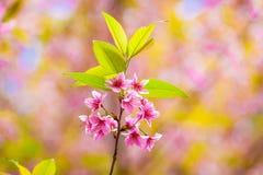 Floraison de l'Himalaya sauvage de cerise (cerasoides de Prunus) Photos libres de droits
