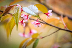 Floraison de l'Himalaya sauvage de cerise (cerasoides de Prunus) Photographie stock