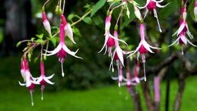 Floraison de l'oscillation fuchsia très belle du vent banque de vidéos