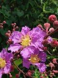 Floraison de la Reine Crapemyrtle Photo libre de droits