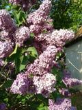 Floraison de lilas Photo libre de droits