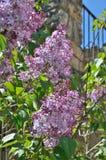 Floraison de lilas Photographie stock libre de droits