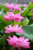 Floraison de lotus Image libre de droits