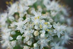 Floraison de plan rapproché de fleur d'oignon photo stock