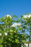 Floraison de plumeria de plumeria d'espèces de Frangipanni Photo stock