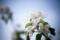 Floraison de pommier photos stock