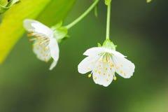 Floraison de ressort d'un Apple-arbre Photographie stock libre de droits