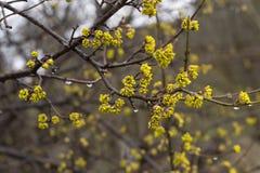 Floraison de ressort d'un arbre Image libre de droits