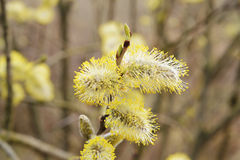 Floraison de ressort d'un arbre avec les inflorescences lumineuses Images stock
