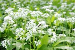 Floraison de ressort d'ursinum- d'allium image stock