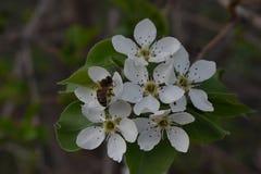 Floraison de ressort des arbres fruitiers dans le jardin photographie stock