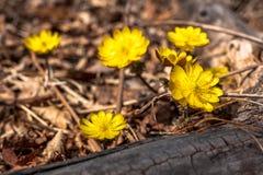 Floraison de ressort des perce-neige jaunes dans la perspective du feuillage de l'automne de l'année dernière photos libres de droits
