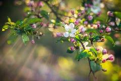 Floraison de ressort de pomme sauvage photos stock