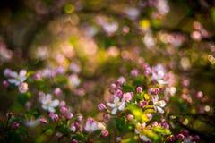 Floraison de ressort de pomme sauvage photographie stock