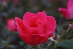 Floraison de Rose Photo libre de droits