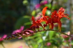Floraison de rouge et x27 ; Lucifer& x27 ; Fleur de Crocosmia Images stock