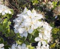 Floraison de source Photos stock