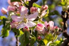 Floraison de source des arbres Photos libres de droits