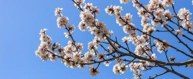 Floraison de source L'amande rose fleurit plan rapproché, fond de ciel bleu, bannière photos libres de droits