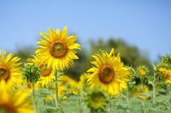 Floraison de tournesol Image libre de droits
