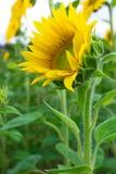 Floraison de tournesol Photo libre de droits