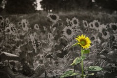 Floraison de tournesol Photo libre de droits