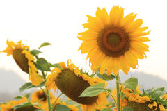Floraison de tournesols Photos libres de droits