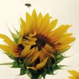 Floraison de tournesols Photographie stock