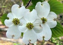 Floraison de trois cornouillers Photographie stock