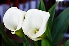 Floraison de zantedeschias images libres de droits
