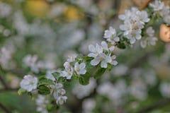 Floraison des buissons de fruit image libre de droits