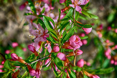 Floraison des fleurs de magnolia Photo stock