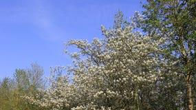 Floraison des fleurs sauvages dans le printemps Photos libres de droits