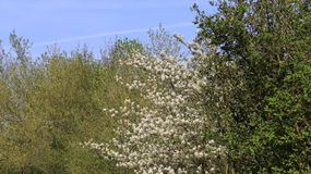 Floraison des fleurs sauvages dans le printemps Photos stock