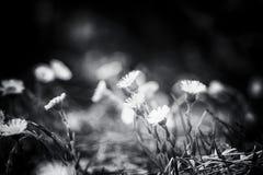 Floraison des pissenlits au printemps Photographie stock libre de droits