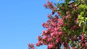 Floraison des pommes pourpres Cherry Flowers With Young Leaves images libres de droits