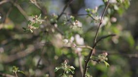 Floraison des pommiers en mai clips vidéos
