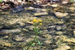 Floraison dorée solitaire contre l'écoulement de l'eau images libres de droits