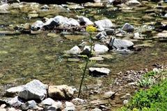 Floraison dorée solitaire dans Rocky Stream photo libre de droits